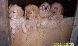 You are in luck **** I have 3 male golden retriever puppies left from a litter of 7, they are purebread but no papers, the parents are on site raised on a horse farm. The puppies are dewormed and ready to go, for more info please call me at 819-768-8760