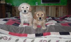 Puppy Love!  These furry babies have just had their first shots and deworming and every pup is in great health.  All our puppies are a soft copper colour with medium to extreemly full fur coats.  There are 5 seet natured males waiting to go to their