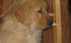We have 3 golden retriever puppies left from our 2011 litter, ready to go to their new homes. Two of them are light in color, one is medium. They have been socialized with children since birth. They have been vet checked and had their first and second