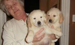 BEAUTIFUL  golden retriever puppies 1 male 4 females ready for their forever homes Feburary 20th,,,,they will have been vet checked and had their 1st shots..they have been dewormed,,,the puppies have been hand raised in a loving enviroment, well