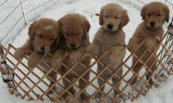 Only 2 males and 2 females remaining from this litter and ready to go to their new homes now.   These puppies are home raised and well socialized with children, cats and the other dogs in our home.  We spend individual cuddle time with each puppy daily.