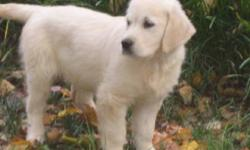 Looking for a white or very light female golden retriever puppy.