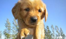 Golden Retriever puppies 4 males left.  Born August 15th Have had their first shots.  Ready for new home !!! Both mom & dad can be seen.  Mom is 2 yrs old, dad is 3 yrs. Great temperament.  Mom loves to fetch and play.  Dad is very laid back, calm