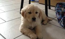 Golden Retriever pups for sale.  2 puppies left Looking for good loving homes. Price we are asking is $200.  They are very Friendly/affectionate, love to play with our children.  Born November 1, 2011.  They have been drinking on their own and eating