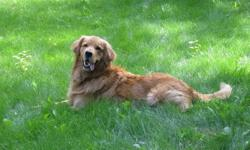 """""""GOLDEN RETRIEVER'S...MICRO-CHIPPED ! """"                                                                                                                                       They are 12 weeks old,  BLOND on BLOND"""