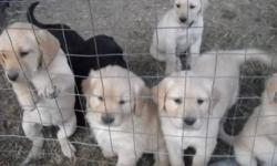 we have  2 black and one  golden colored puppies left and they will be ready to go to there foreever homes after Oct 28th,2011   . to view please call for appointment and private viewing.  please call 403-843-6610. to get directions or E mail