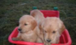 Our family golden retriver dogs have given us another very nice litter of boys and a girl ,there are 6 all together 5 boys and one girl to pick from,both parents on site, they are vet check and had there first shots ,very nice playful  puppys, they are