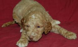 Goldendoodle Puppies, born September 7th, 2011.  A deposit will hold the puppy of your choice until he/she is ready to go.  These puppies will have their first set of vaccinations and have been dewormed.  Boys are a red color, some with white markings on