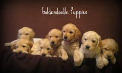 Beautiful Goldendoodle puppies.  Mother is a Goldendoodle F1 and father is a Golden Retriever.  Our puppies are raised in our home with small children.  Both parents are great with children, have excellent temperment and will make a wonderful family pet.