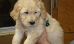 There is still time to have a little Goldendoodle puppy under your tree this Christmas!  Gallagold Kennels has five puppies remaining for sale, 2 female, 3 male.  All are absolutely beautiful. Mom is a purebred Golden Retriever, and Dad is a purebred