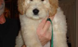 Now that the Holidays are over, it's a good time to bring your new little puppy home! Gallagold Kennels has four puppies remaining for sale, 2 female, 2 male. All are absolutely beautiful. Mom is a purebred Golden Retriever, and Dad a purebred Standard