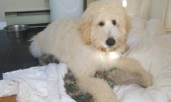 Goldendoodles Green Acres Goldendoodle Kennels has a litter of pups ready to be re homed February 10th, 2012. This litter of Goldendoodles were born December 17th, 2011. Father and mother are on site. Father Casper is a standard poodle registered with the