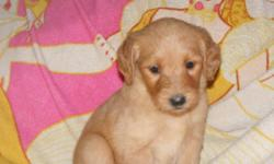 We have a litter of goldendoodles for sale. Puppies are 8 weeks old Sun. They are very healthly, sweet puppies. We have 2 golden females, 2 black males and 1 black female left. They are vet checked, needled  and dewormed. Mom is a golden retriever 65lbs