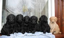 BEAUTIFUL GOLDENDOODLE PUPS, VERY LOW TO NON-SHEDDING PUPS, MOM IS CKC PUREBREED GOLDEN RETRIEVER 45LBS GREAT TEMP, DAD PUREBREED STANDARD POODLE 55LBS, PARENTS ARE VERY HEALTHY WITH ALL VACC UP TO-DATE, PUPS WILL BE MEDIUM SIZE 45-55LBS GROWN, WELCOME TO