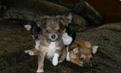 Ready for there new home; Purebred Chihuahua reduced price. These puppies are very sociable, home raised w / small children, both parents on side, mother and father weight 5 lbs, puppies are 11weeks old, (males & females) Up-date with their needles and