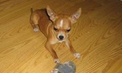 These two boys are the best chihuahuas you will find anywhere and here's why! Our top breeding priorities are health and temperament. We back this with a better written health guarantee than is offered by any other chihuahua breeder in Canada. You are