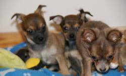Ready for there new home; Purebred Chihuahua puppies, raised with lots of love, well socialized with small children and other animals, parents on side, mother and father weight 5 lbs, comes with one set vaccine, dewormed three times and written health