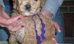 F1B GOLDENDOODLES    We have a wonderful litter of Golden Doodles that were born on Oct18th and will be ready the weekend before Christmas on Dec17th. There are 6 boys and 1 beautiful little girl available. The Mom to this litter is our very lovely Kaci