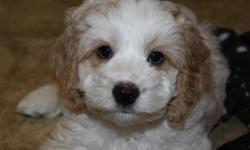 Only 1 male left! Absolute heart-melting cockapoo puppies now available! If you ever wanted a little teddy bear to follow you around and show you unconditional love, this is it! They are super sweet and loving little puppies. They are a half cocker