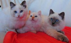 Beautiful Ragdoll Kittens of Exceptional Type, Conformation and Character     These kittens truly exemplify the Ragdoll breed, with their exquisite blue eyes, plush coats and endearing personalities.  They all have wonderful dispositions and will make