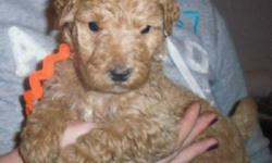 Gorgeous Goldendoodle ready for their new families.    Dark apricot to cream with very low to non-shed coats.  Beautiful wavy coats with a curl.    These Goldendoodles have amazing personalities. They are affectionate, playful, buddles of joy. As adults