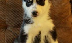 Stunning purebred husky puppies available to new homes now at 8 weeks old! They were born on November 16. There is 1 male and 2 females available at this time. We have puppies with 2 blue eyes, 1 blue and 1 brown, or both brown. We are welcoming visits to