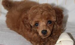 I have one adorable purebred CKC registered toy poodle puppy left for sale. This little guy was the most outgoing pup in the litter. This little bundle loves to play and retrieve the ball. He will mature at 6-6.5lbs.He has been vet checked, tail docked,