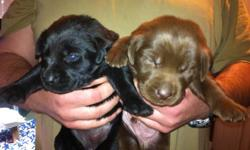 """Labs""""r""""us kennels is proud to present our new litter of puppies that will be ready to go to their forever homes January 11. The puppies will be registered with the Canadian Kennel Club. Both parents have their hips and elbows certified with the OFA."""