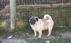 Winston is in need of a new home He is not fixed, never been around children He is up to date on his shots & is gd around other animals he is a very friendly lovable pug boy, but has lived on a farm most of his life & has been able to go outside as he