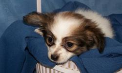 Absolutely adorable female papillon x chihuahua, very loving & playful disposition. Loves to play with her toys and then settle in for her nap right beside you. Mom is a Tri -color papillon and dad is a cream color chihuahua, parents have excellant