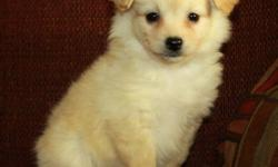 Super sweet Pom Poo puppies now available (Pomeranian x toy poodle)! There are 4 of these little sweethearts available - all females. Mom is a toy poodle, dad is a Pomeranian. They are expected to mature 8-10lbs or smaller. They were born on November 2