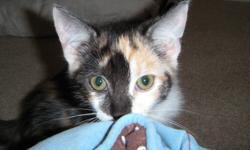 Dixie and Ditto are two super adorable little girls looking for their forever homes!  They are the last two from a litter that came into Holly's Hopes care.   Dixie is a typical spunky calico kitten who loves to play, play, play and then will snuggle on