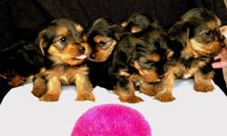 We are looking for loving homes for these adorable yorkie mix puppies. We have 5 females and 1 male. The puppies have their tails docked and they will include the first set of shots and vet check. The puppies will be ready to join their new families after