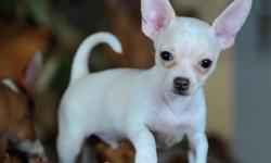 Beautiful Chihuahua puppies available for their new homes, These Puppies are well trained with children and other home pets, They are registered, vet checked and will come with all health papers, Do get back to us if interested in purchasing a puppy.