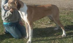 1 year old Great Dane  Fawn Mantle for adoption to approved home only. I have kept back to decided which futures males I would be keeping and now I am looking to home, very loving family raised boys.. He is on a Raw diet and holistically raised. please