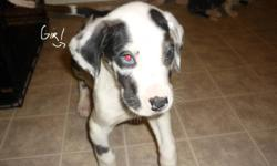 I have 5 Harlequin Great Dane puppies for sale. There are 2 boys and 3 girls. They have been vet checked and dewormed. Ready to go now. Would make wonderful Christmas presents =) If interested message me or call (902)660-2385