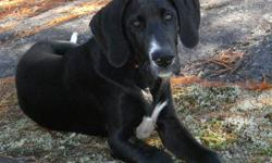 Beautiful pure Great Dane female without papers. She is sweet and gentle as she was raised with kids and cat. A separation has made it necessary to find her a loving home. She has all shots, and is in perfect health. Fully house trained as well as sit,