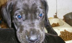 Just 1 pup left, 1 jet black male, not a white hair on him, he will be very large dog,  His dad is akc reg., mom isn't reg. hehas been vet checked, had shots, been dewormed, and is ready for his new home. email or call 306 656 4464