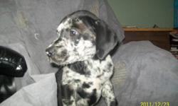 Mom is full Black Great Dane .. Dad is 1/2 Siberian Husky 1/2 Great Dane full mix of colours.  4 pups to choose from.. They are all on solid puppy food and water.. No more mommy's milk ...  If you want the lap dog of your dreams check these puppies out.