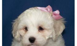 Non shedding Bichon x Cocker puppy- only one female available !! Super friendly and playful, they are wonderful family dogs as they are great with children of all ages. They mature to 11-12 inches and will weigh about 16-20 lbs. They have a soft wavy