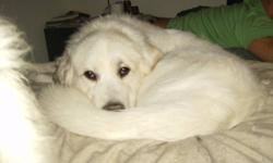 GREAT PYRENEES,VERY GENTLE, 1 MALE 3 YRS OLD AND 1 FEMALE 2 YRS OLD REQUIRE A GOOD HOME WITH ROOM TO RUN AND SOMEONE WHO CAN SPEND TIME WITH THEM. WOULD LIKE TO KEEP THEM TOGETHER IF POSSIBLE. WILL PROVIDE ELECTRIC FENCE THAT DOESN'T NEED TO BE BURRIED IN