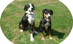 Rare Greater Swiss Mountain dog puppies, this is the same as the Bernese Mountain dog but with a short easy to maintain coat.  Both parents are here to meet.  Pups have been vetted with shots,de-worming and Revolution up to date.  They will come