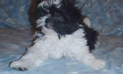 One adorable Shih Tzu X Maltese handsome little guy  looking for the perfect forever parents. He's an absolute doll, loves people and climbing into laps. He has a thick, non-allergenic coat and will be appx 10 pds full grown. Intelligent and easy to