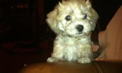 Ready for homes beautiful havanese bichon puppies. I have 2 male and 4 female. Mom is 18 lbs and Dad is 10 lbs. Colors are varied. These hyperalergenic puppies are very loving, smart and easy to train. They love to be cuddled and are wonderful pets for