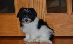 Beautiful stunning puppies ready!  We also have a couple RARE chocolate pups with the beautiful brown buttom noses. We have been raising the Havanese for 18 years ? one of the earliest breeders of these great little dogs in Canada!  This has allowed us to