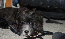 Two adorable puppies left. small breed of dog. Ready to go December 20th. Pups are paper trained.