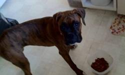 LOST IN THE MUSTANG ACHRES AREA, MY 8 MONTH OLD PURE BRED BRINDLE BOXER, SHE IS NOT SPAYED AND ANSWERS TO THE NAME CLOE. I MISS HER VERY MUCH AND IF ANYONE HAS ANY INFORMATION ABOUT HER WHERE ABOUTS AND HOW I CAN GET HER BACK, IT WOULD MEAN THE WORLD TO