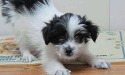 Lovely looking Havanese puppies now ready for there new home.  Happy healthy vet checked with vaccinations they are a great little puppy with lots of love.  Both parents are registered AKC and available for viewing.  Come and see how cute a Havanese can