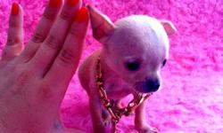 9 WEEK OLD CHIHUAHUA BOY, BEAUTIFUL APPLE HEAD Very tiny but full of personality and Chihuahua love! VET CHECKED, FIRST SHOTS, DE-WORMED, PEE PAD TRAINED. %100 HEALTH GUARANTEE AND FREE PUPPY PACK SERIOUS IN'Q ONLY PLEASE NO EMAILS. THANKS :) 604-910-3335