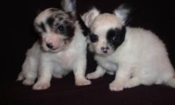 These two little boys are just soooo darn cute! Happy Healthy playful little pups.They are 6 weeks old and will be ready to go at 8 weeks.Both Long Coats.Will be vet checked 1st shots dewormings and have health guarantee.Also will come with for FREE by my